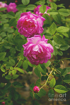 Photograph - Two Roses by Lena Auxier