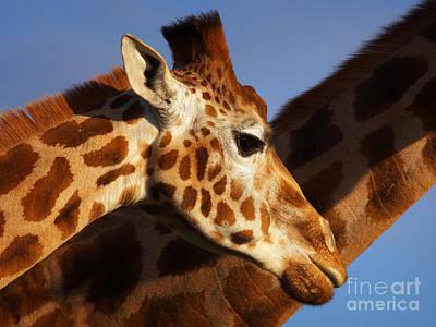 Photograph - Two Rothschild Giraffes by Nick  Biemans
