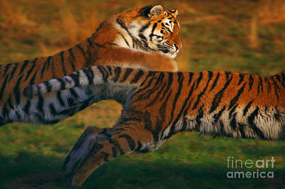 Photograph - Two Running Siberian Tigers by Nick  Biemans