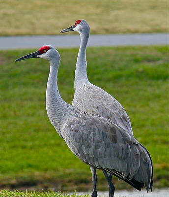 Photograph - Two Sandhill Cranes by Denise Mazzocco