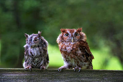 Two Screech Owls Art Print