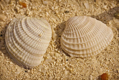 Photograph - Two Shells by Adam Romanowicz