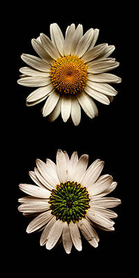 Photograph - Two Sides To Every Daisy No Text by Weston Westmoreland