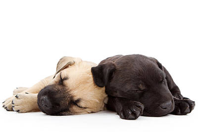 Two Sleeping Puppies Laying Together  Art Print by Susan Schmitz