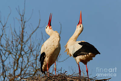 Fruits And Vegetables Still Life - Two storks Courting on a nest II by Nick  Biemans