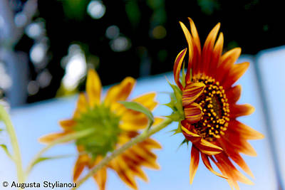 Yellow And Orange Sunflower Photograph - Two Sunflowers by Augusta Stylianou