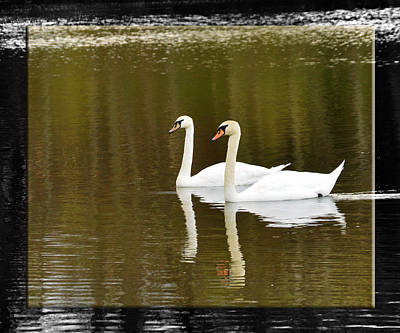 Photograph - Two Swans A Swimming by Robert Clayton