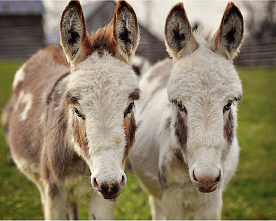 Photograph - Two Sweet Donkeys by Image By Sherry Galey