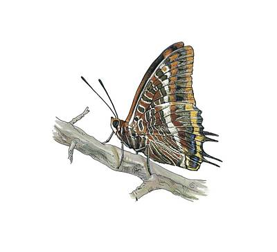 Two-tailed Pasha Butterfly, Artwork Art Print