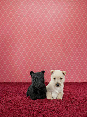 Photograph - Two Terrier Puppies On Fancy Set by Catherine Ledner