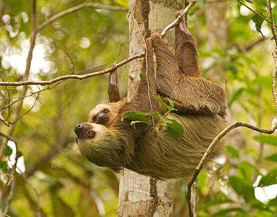 Photograph - Two-toed Sloth by Brian Magnier