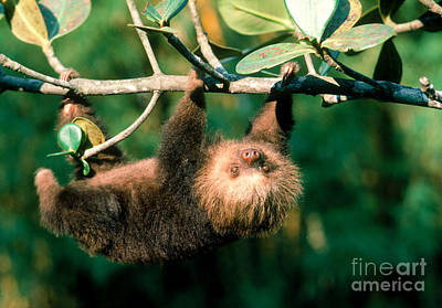 Two-toed Sloth Art Print