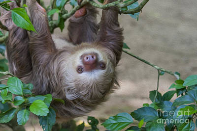 Two Toed Sloth Hanging In Tree Art Print