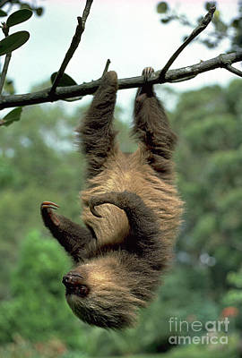 Two-toed Sloth Juvenile Art Print by Gregory G. Dimijian, M.D.