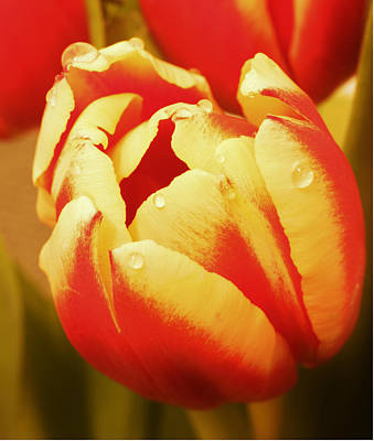 Photograph - Two Tone Tulip by Theresa Selley