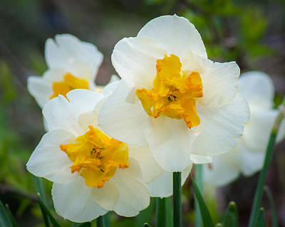 Photograph - Two-toned Daffodils by Bill Pevlor