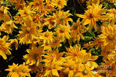 Photograph - Two Toned Yellow Blooms by Eunice Miller