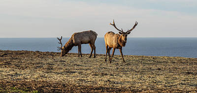 Point Reyes National Seashore Photograph - Two Tule Elk Cervus Canadensis Nannodes by Animal Images