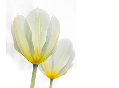 Photograph - Two Tulips 1 by Peter Scott