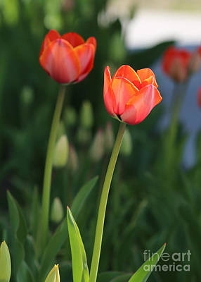 Limelight Photograph - Two Tulips by Carol Groenen