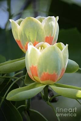 Two Tulips Art Print by Jim Gillen