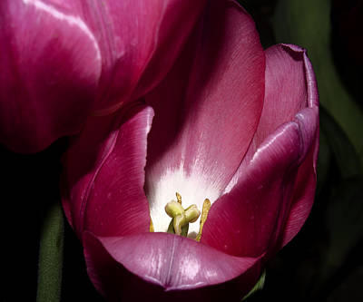 Stamen Digital Art - Two Tulips Touching by Camille Lopez