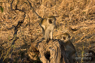 Photograph - Two Vervet Monkeys by Chris Scroggins