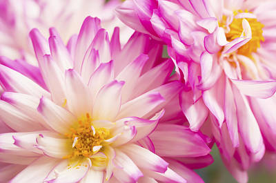 Two White And Pink Decorative Dahlias Art Print by Daphne Sampson