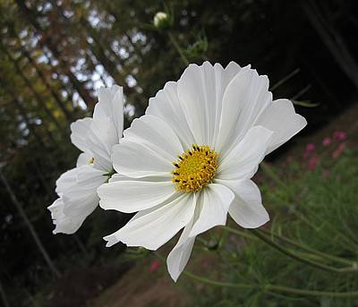 Photograph - Two White Cosmos by MTBobbins Photography