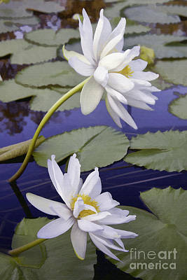 Photograph - Two White Lilies by Sharon Foster