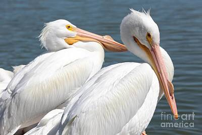 Photograph - Two White Pelicans by Carol Groenen
