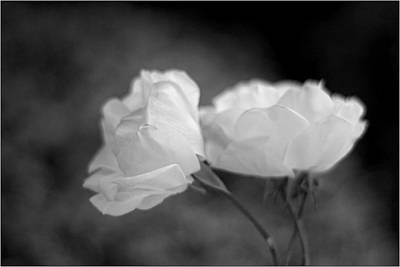 Photograph - Two White Roses by Mirza Ajanovic