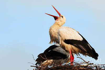 Photograph - Two White Storks On A Nest by Nick  Biemans