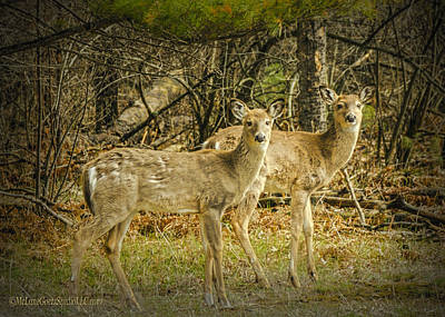 Photograph - Two White Tailed Deer by LeeAnn McLaneGoetz McLaneGoetzStudioLLCcom