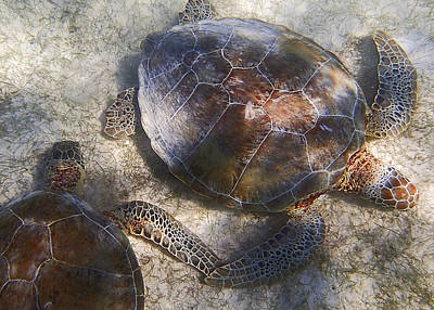 Photograph - Two Wild Sea Turtles In Akumal by For Ninety One Days