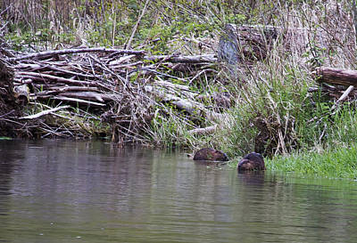 Photograph - Two Working Beavers by Belinda Greb