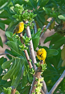 Photograph - Two Yellow Canary Birds In Tree by Valerie Garner
