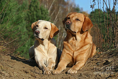 Photograph - Two Yellow Labrador Retriever Dogs Lying In Sand by Dog Photos