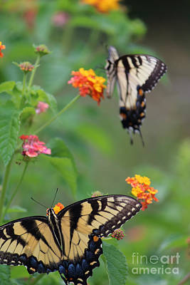 Photograph - Two Yellow Swallowtail Butterflies by Jackie Farnsworth