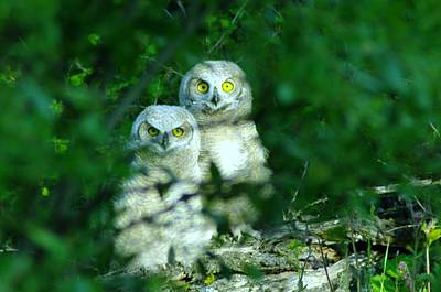 Two Young Owls Art Print by Jeff Swan