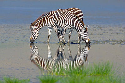 Two Zebras Drinking Water From A Lake Art Print