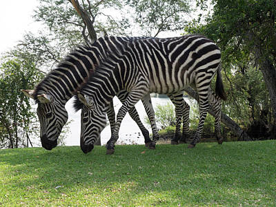 Two Zebras Eating Grass At Royal Art Print by Panoramic Images