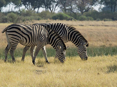 Two Zebras Eating Grass, Moremi Game Art Print by Panoramic Images