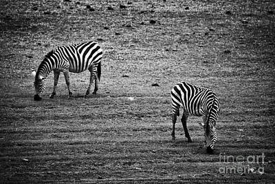 Isolated Photograph - Two Zebras Eating. Tanzania by Michal Bednarek