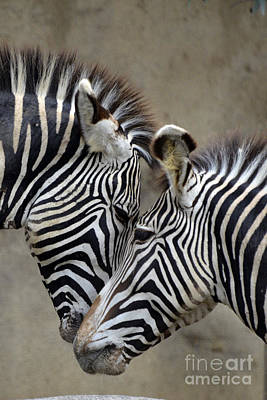 Zebra Photograph - Two Zebras by Mark Newman