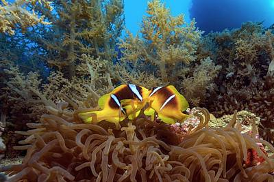 Twoband Anemonefish In An Anemone Art Print by Alexis Rosenfeld/science Photo Library