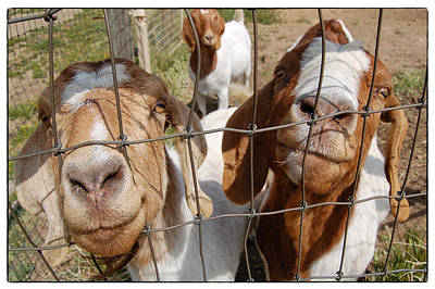 Photograph - Twogoats by Mary Jane Utley