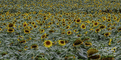 Photograph - U Can Never Have Too Many Sunflowers by Barbara Bowen