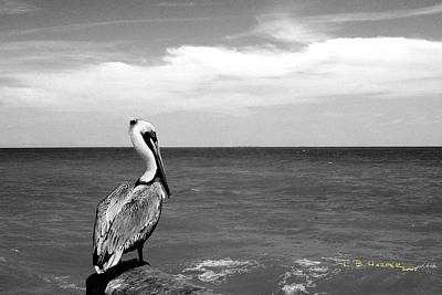 Photograph - Ubiquitous Pelican In Black And White by R B Harper
