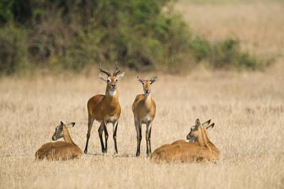 Uganda Photograph - Ugandan Kobs Kobus Kob Thomasi Mating by Panoramic Images